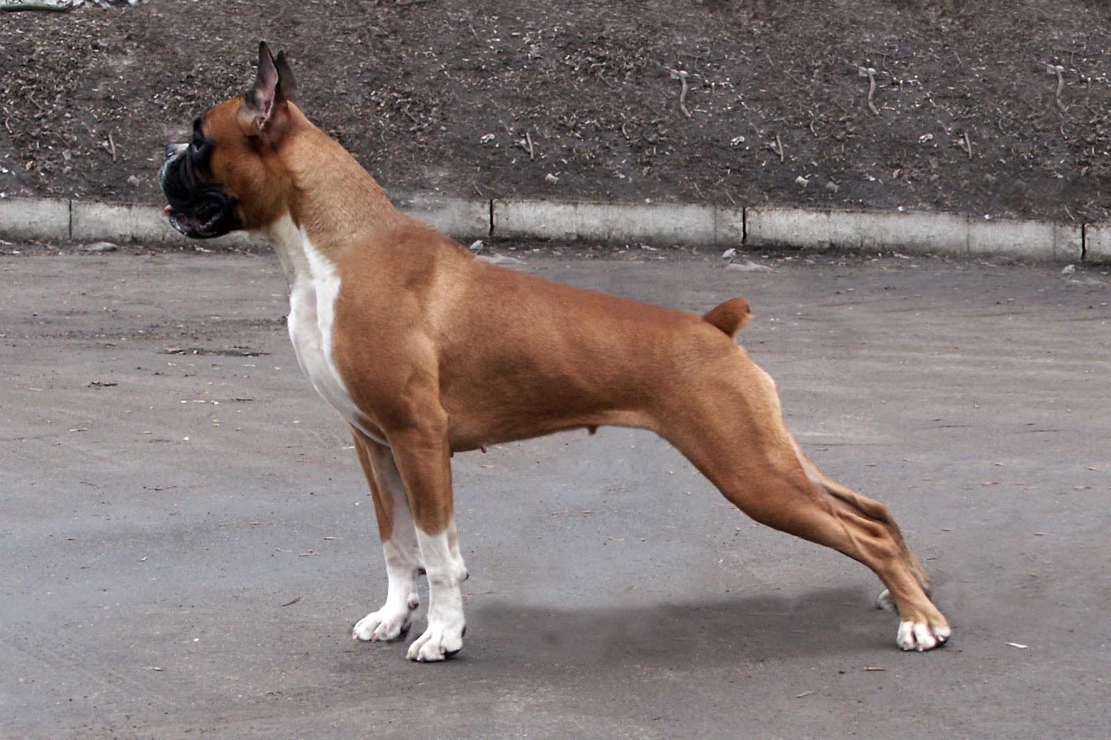 Немецкий боксер