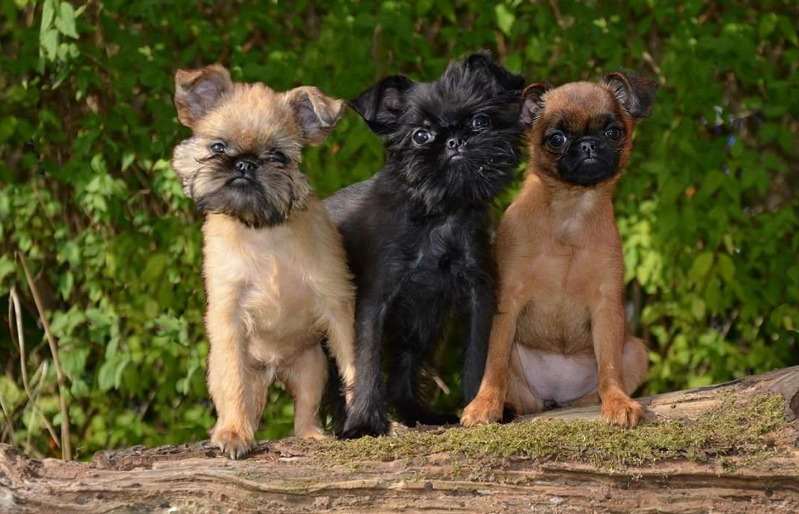 Малые бельгийские собаки