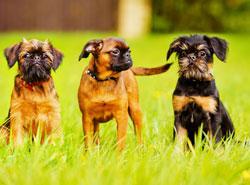 Дрессировка Малые бельгийские собаки