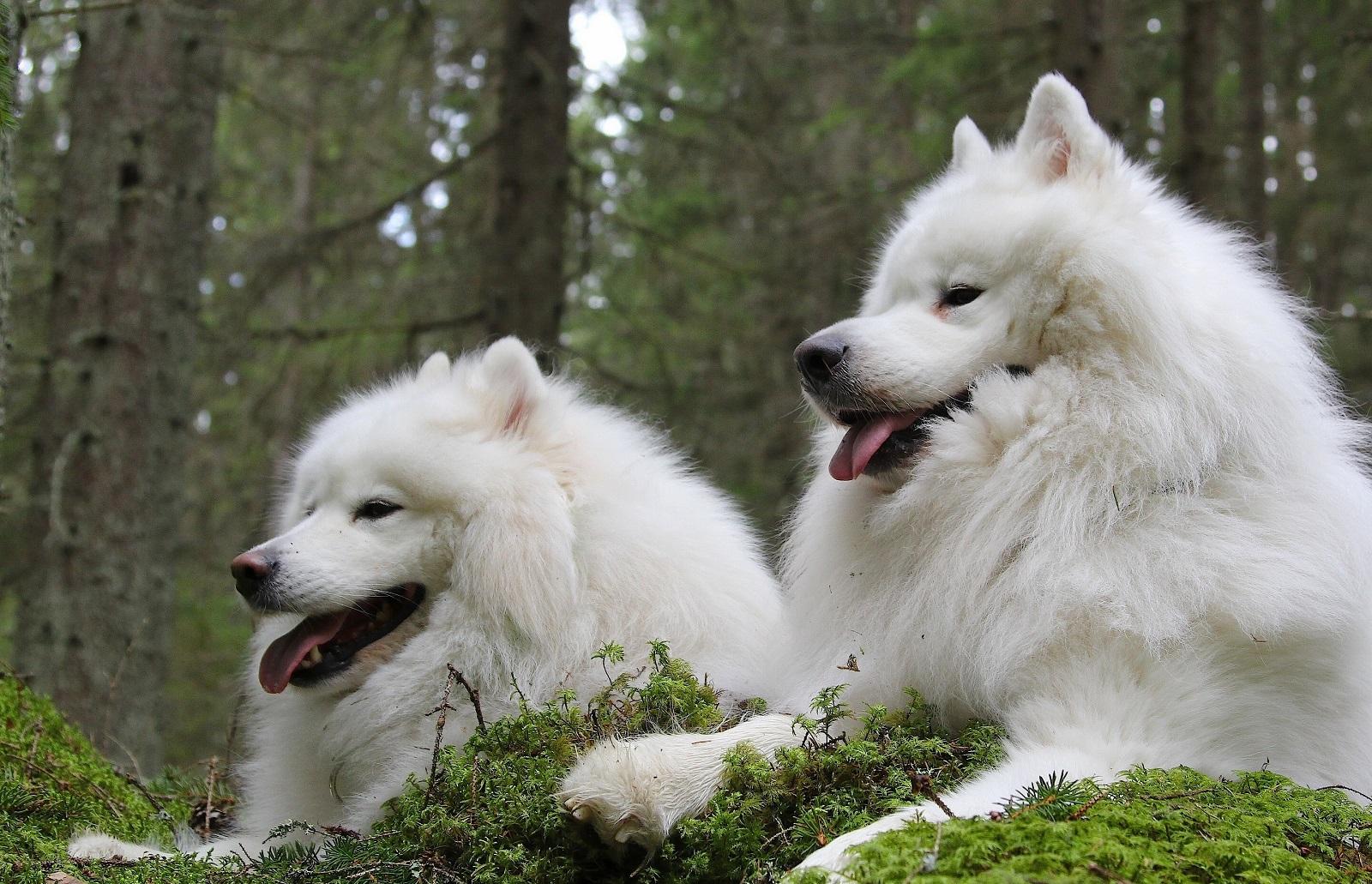 Самоедская собака