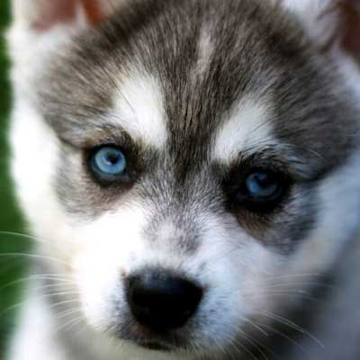 Дрессировка щенка аляскинского кли-кая