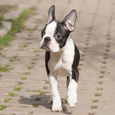 Дрессировка щенка бостон-терьера