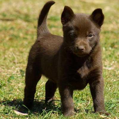 Дрессировка щенка австралийского келпи