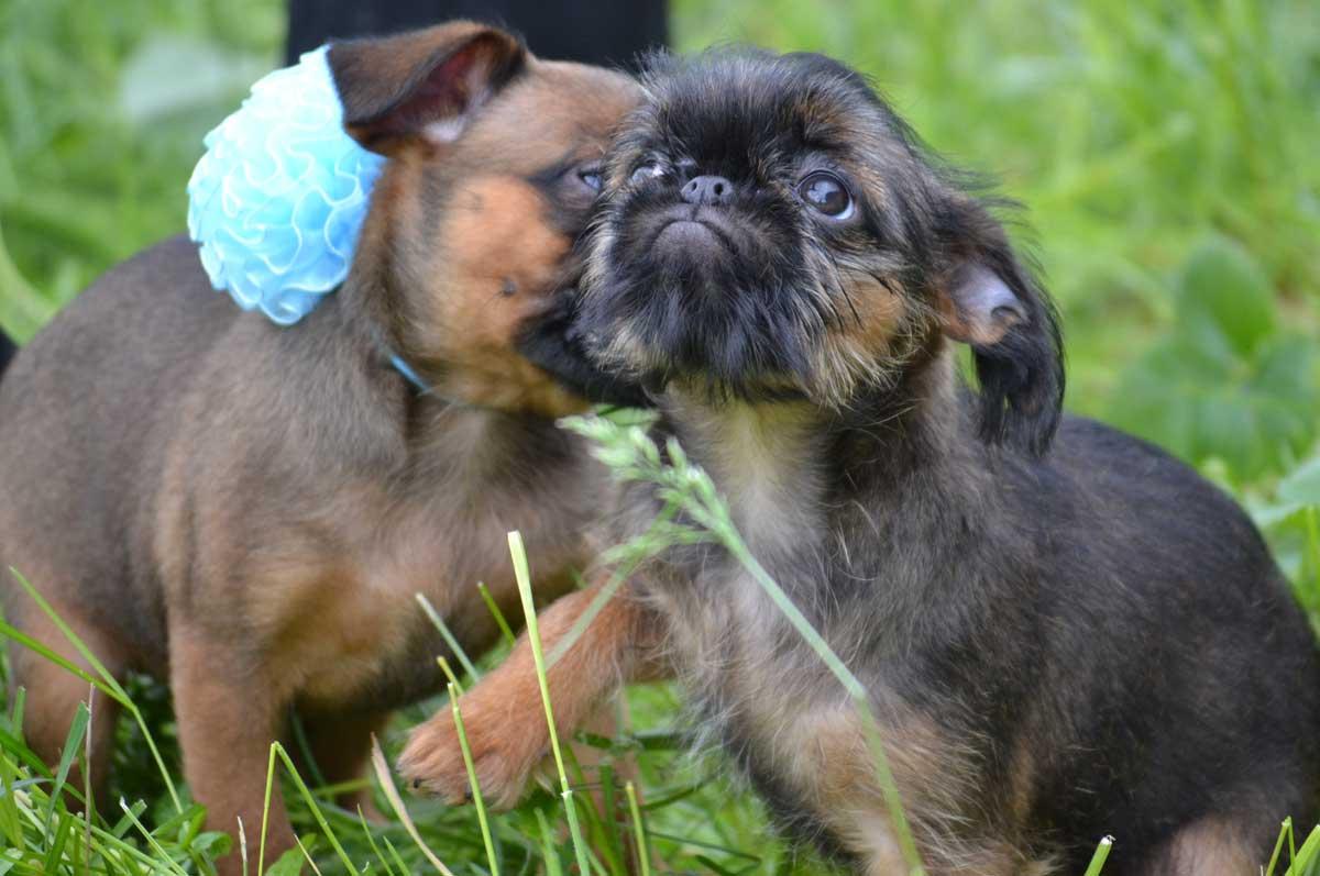 Дрессировка щенка бельгийского гриффона