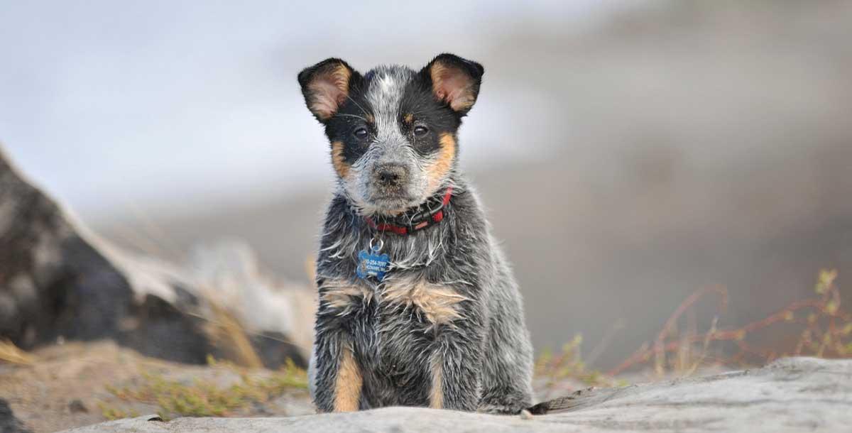 Дрессировка щенка стампи
