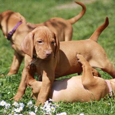 Дрессировка щенка венгерской выжлы