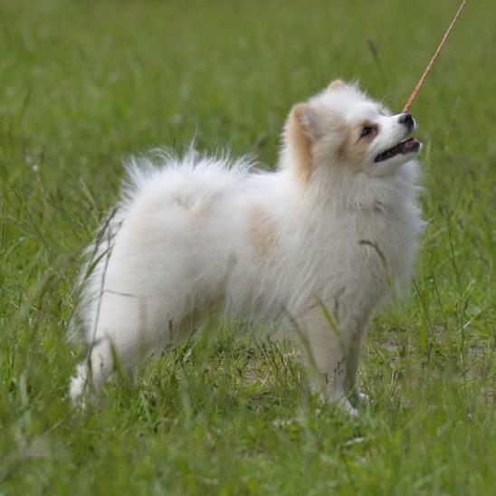 Дрессировка мелких пород собак